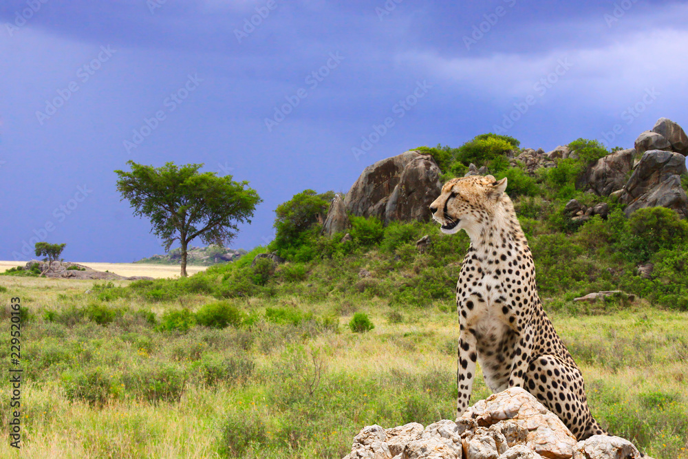 Photo of cheetah / Landscape-bizarre rocks with Cheetah on Savannah background