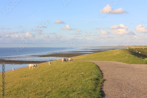 Leinwand Poster Sea dyke with grazing sheep in the late afternoon near the Wadden Sea in the Net