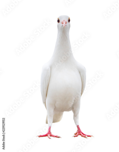 full body of white feather pigeon bird isolated white background