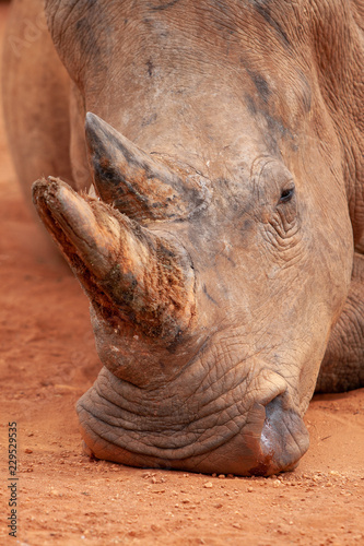 Poster Neushoorn White rhino lying down