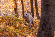 Siberian Husky German Shepherd Mix Dog In Autumn Forest