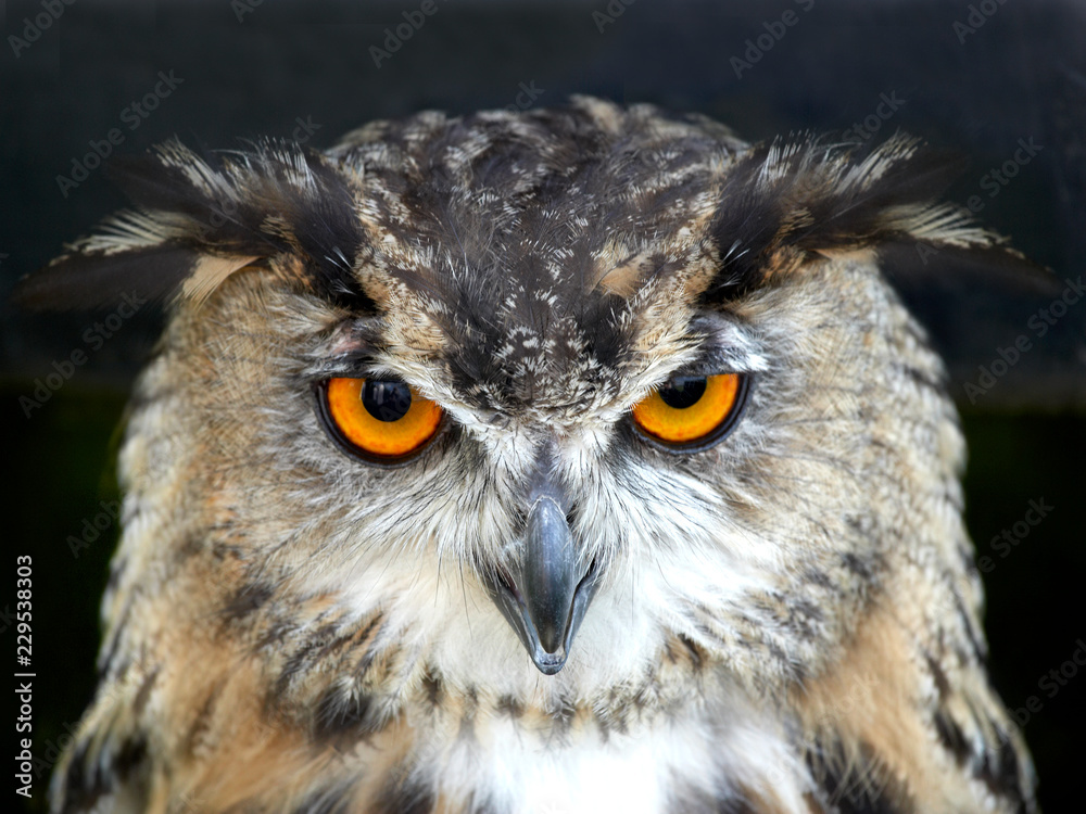 Fototapety, obrazy: PORTRAIT OF EAGLE OWL ON BLACK BACKGROUND IN CLOSE UP