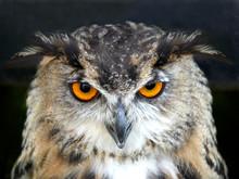 PORTRAIT OF EAGLE OWL ON BLACK...
