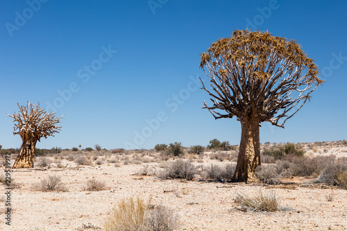 Carta da parati Quiver tree in the arid Augrabies Falls National Park in South Africa