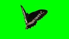 Butterfly On Green Screen