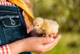 cropped image of kid holding adorable yellow baby chick outdoors