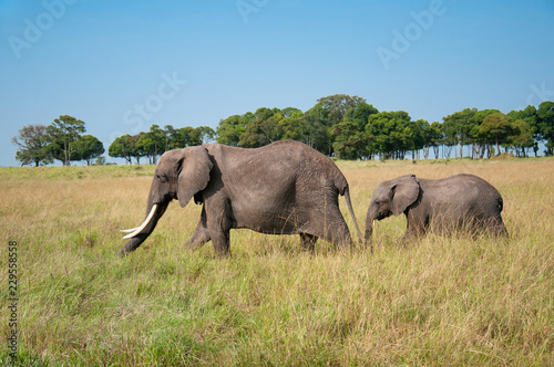 Photo adult elephant with cup prowling around in the african savannah in the National