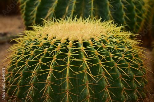 Cactus flower, Cactus in the garden, Cactus decor. Cactus flower.