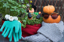 Autumn Fun Gardening. Fashionable Pumpkin Wearing Glasses And Warm Scarf. Green Parsley Plant, Flower Pots, Garlic, Tools, Gloves And Image Of Halloween Gardener Are On A Garden Table Outside.