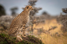 Cheetah Sits On Grassy Mound In Profile