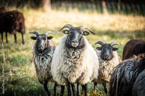 Familienfoto einer Schafherde vor unscharfem Hintergrund Canvas Print