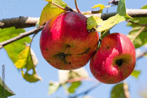 Fototapeta Czerwone jabłka rosnące na gałęzi - aaples obraz