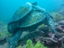 Two Marine Turtle Mating Underwater On Galapagos Islands Ecuador