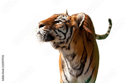 Isolated Bengal Tiger, looking up