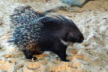 Indian Crested Porcupine Or Hystrix Indica On Sand