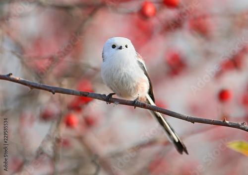Fototapeta premium sikora długoogoniasta lub buszówka (Aegithalos caudatus) siedzi na gałęzi krzewu dzikiej róży na tle czerwonych jagód i nieba