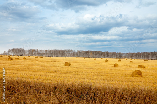 Beautiful golden field with hay sheaves and dark stormy sky. Autumn morning in countryside.