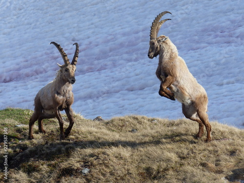 Fighting ibex on the Nufenenpass, Switzerland