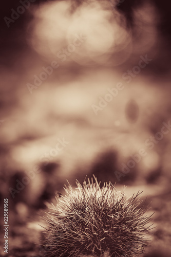 Photo  close up of chestnuts on forest ground in black and white sepia