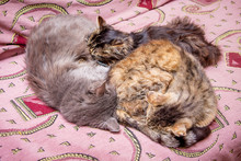 The Family Of Cats Sleep On The Couch. Daddy, Mom And Baby On Vacation_