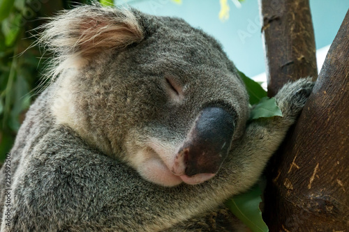 Canvas Prints Koala Close up of Koala head shot which sleeping on tree branch