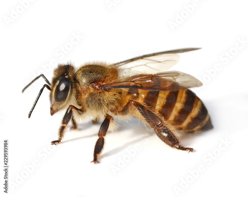 bee isolated on white  background Canvas Print