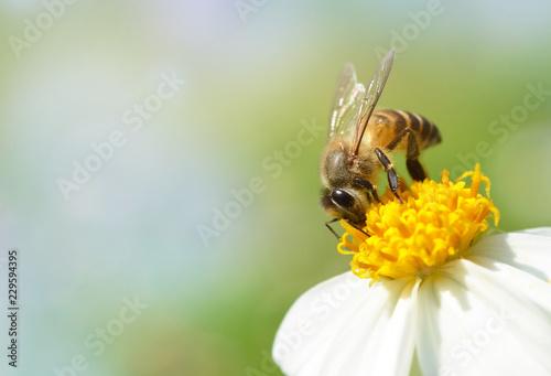 Foto op Plexiglas Bee Bee on flower with soft blurred background