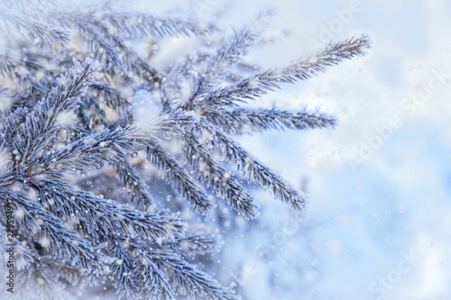 Winter natural background of fir branches in hoarfrost with copy space Wallpaper Mural