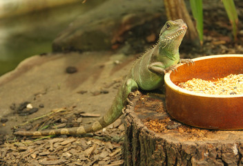 the chinese water dragon (Physignathus cocincinus) on the bowl with food in the terrarium