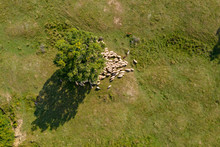 Transhumance, Sheep And Shephe...