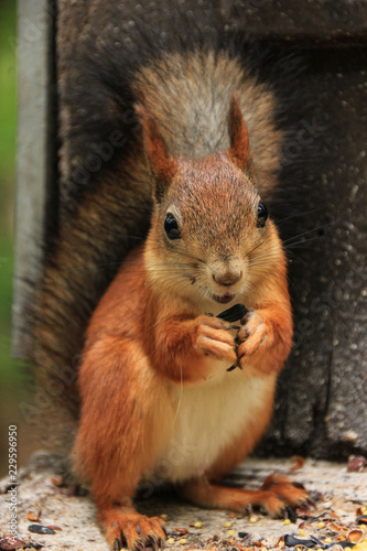 Photo  Red-haired wild squirrel in a natural habitat of the forest