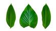 canvas print picture Leaves Calathea ornata pin stripe background White Isolate