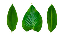 Leaves Calathea Ornata Pin Stripe Background White Isolate