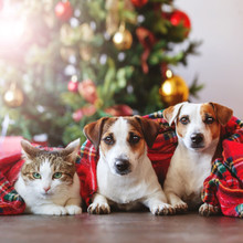 Cat And Dogs Under A Christmas Tree