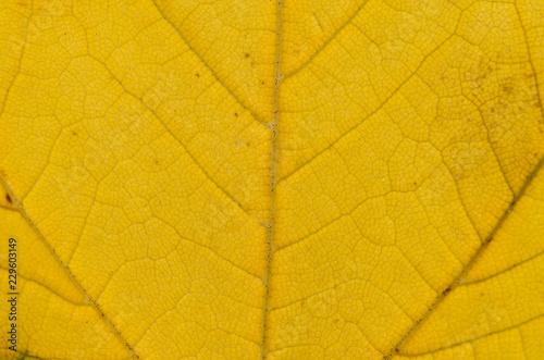 Foto  Foglia gialla autunnale in primo piano