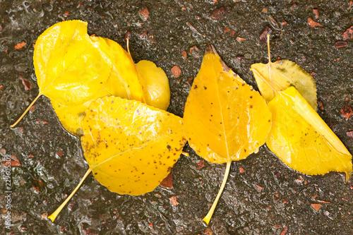Fotografie, Obraz  several yellow leaves on wet asphalt