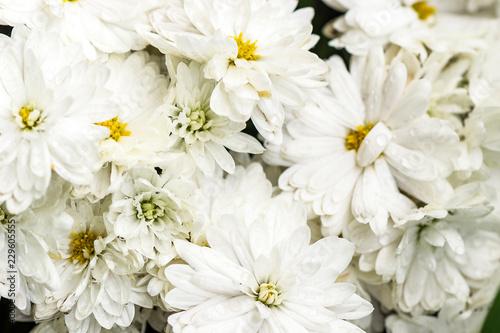white chrysanthemum after rain #229605555
