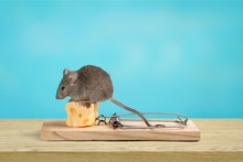 Grey Mouse And Mouse Trap With Cheese