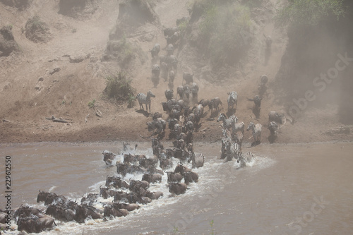 Tuinposter Grijs Stampede of wildebeest and zebra crossing the river in the Great Migration of Serengeti