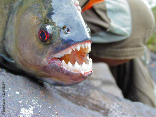 Valokuvatapetti Amazon Black Piranha with exposed teeth