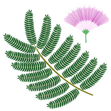 Silk Tree Flower And Leaf. Tropical Plant Isolated On White Background. Vector Illustration.