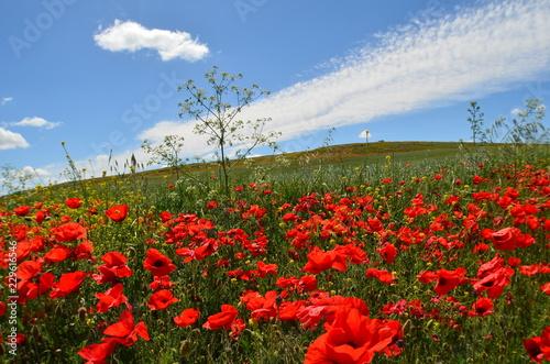 Fotobehang Poppy campo de amapolas