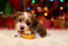 Cute Havanese Puppy Is Playing With A Christmas Tree Ball Ornament