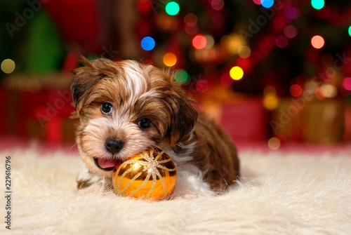 Cute Havanese puppy is playing with a Christmas tree ball ornament Wallpaper Mural