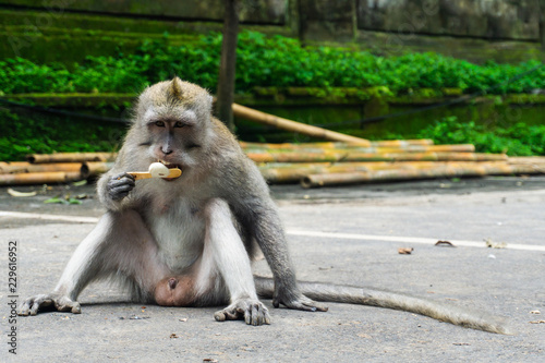 Foto op Plexiglas Aap A cute macaque sitting outside the sacred monkey forest in Ubud, Bali. He enjoys a magnum icecream. Scientific name of the monkey is Macaca fascicularis.