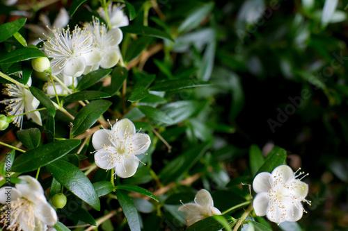 Fototapeta Branches with flowers of Myrtle (Myrtus communis) close-up obraz