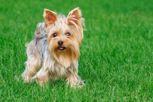 Dog Breed Yorkshire Terrier In...