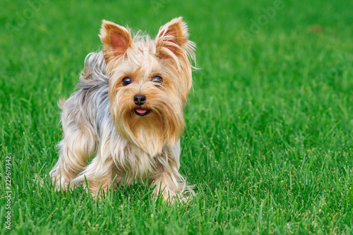 Fototapeta dog breed Yorkshire Terrier in the park on a green lawn obraz