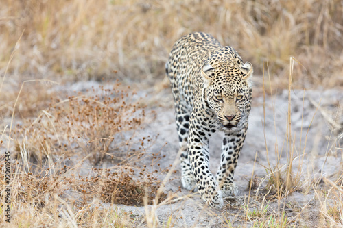 Foto op Aluminium Luipaard Lone leopard walking and hunting during daytime