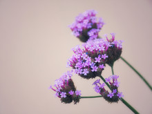 Verbena Bonariensis Is A Purpl...